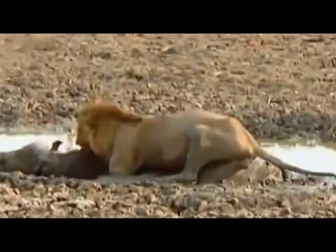 Cuộc chiến của sư tử để tranh giành lãnh địa