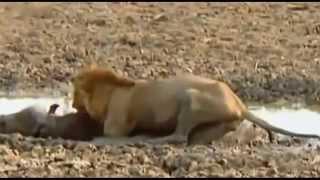Repeat youtube video Cuộc chiến của sư tử để tranh giành lãnh địa