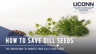 Saving Dill Seeds