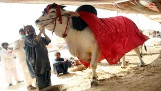 Sohrab Goth cow mandi MOST EXPENSIVE Bull in Asia