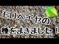 モロヘイヤの種!! の動画、YouTube動画。