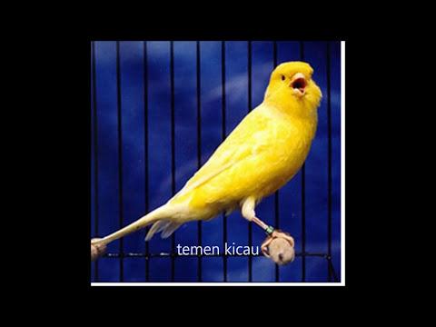 Download Lagu suara burung kenari isian ciblek gacor full durasi panjang