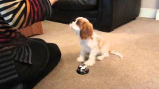 Redford our Cavalier puppy trick training at 16 weeks old