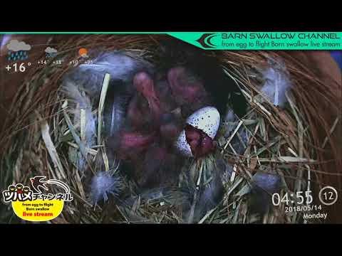ツバメの雛が巣立つまでLIVE配信/6羽目孵化ハイライト