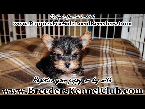 TEACUP, YORKIE PUPPIES FOR SALE IN GEORGIA LOCAL BREEDERS