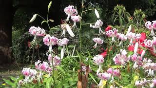 【柏の葉公園の植物】カノコユリ 鹿の子百合&モミジアオイ 紅葉葵
