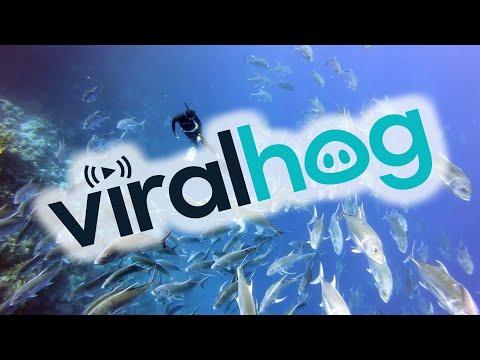 Giant Trevally School Encircles Diver || ViralHog