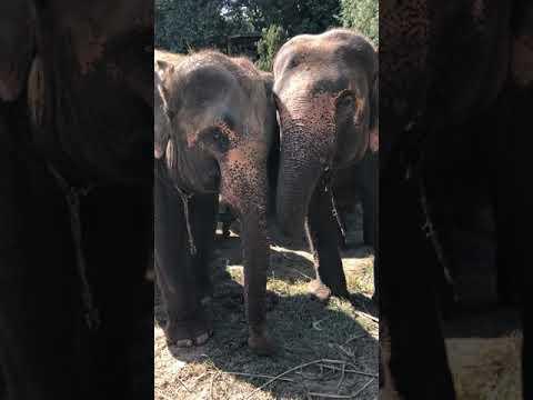 2 Pregnant Asian Elephants At Kanta Elephant Sanctuary