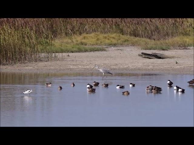 候鳥的先鋒官--蒼鷺Pioneer Officer of Migratory Birds--Ardea cinerea