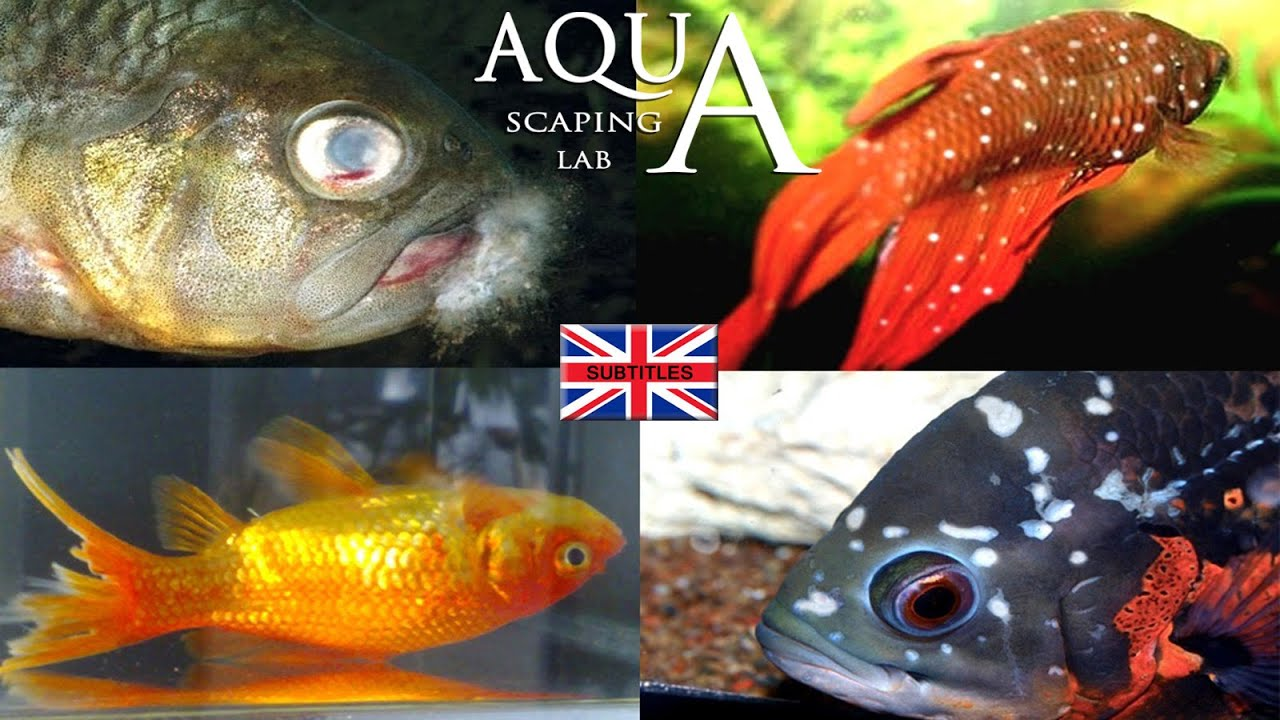 Aquascaping lab fish diseases how to spot and cure ick for Ick in fish tank