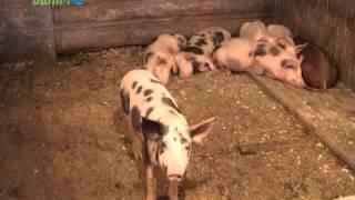 Боротьба з Африканською чумою свиней в Конаково