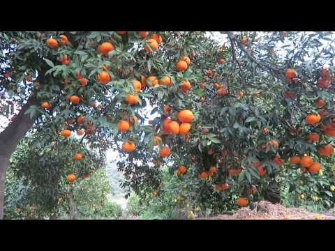 Walking around organic fruit farm in south Spain, Winter