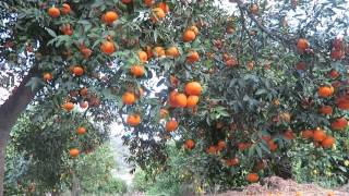 Walking around organic fruit farm in south Spain, Winter
