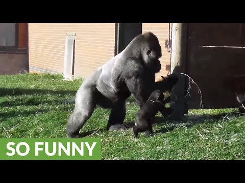 Rowdy baby gorilla gets disciplined by dad