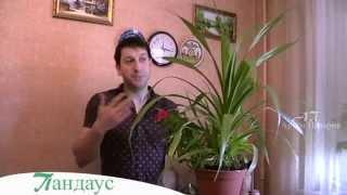 Панда́н, или Панда́нус винтовая пальма в квартире : выращиване и уход - Артём Панарин