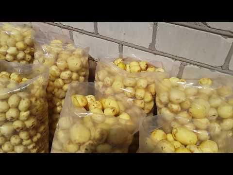 собираем ранний урожай картофеля  в начале мае.весь процесс.