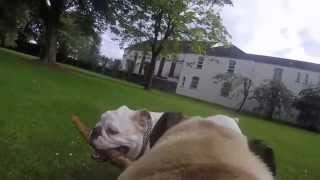 A Walk Through Eddie's Eyes ♡ Bulldog/pug Cross ♡ Gopro