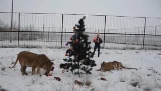 Львица Лола встретила Новый год под елочкой
