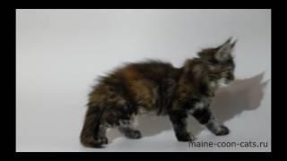 Кошка черепаховая мейн кун