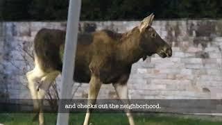 Moose Visits Warsaw Neighborhood During Pandemic