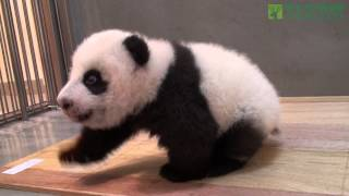 圓仔學步--一步一腳印 The Giant Panda Cub Step by Step