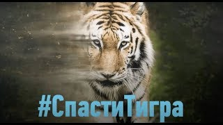 Спасти тигра | Discovery Channel