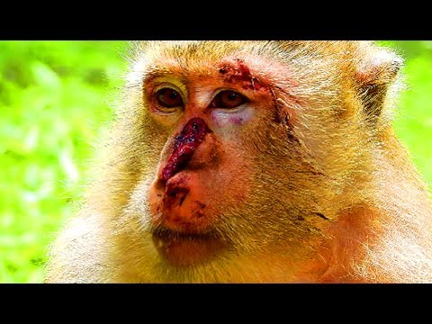 Deeply pity on monkey, Most people love monkey, Bad driver make monkey very suffer #2309