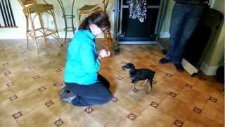 Good Dog! Training - 7 week old puppies