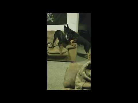 Doberman Pinscher and German Shepherd Playing