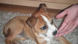 Sbt Staffordshire Bull Terrier