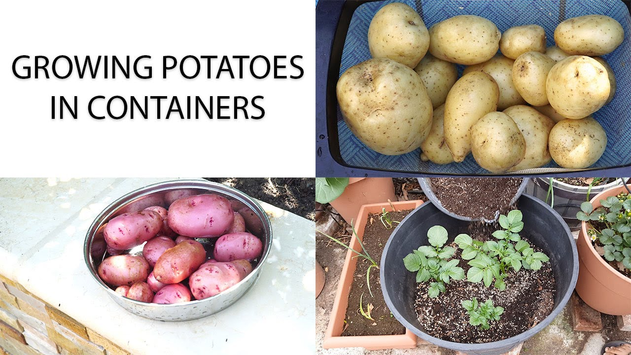 how to grow potatoes in a container youtube