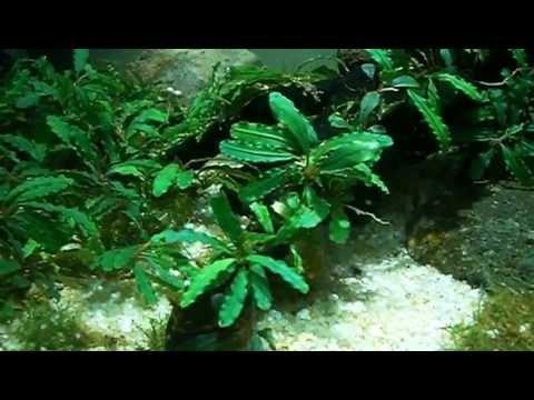 Bucephalandra In Tank (indo_aquatic@yahoo.co.id)