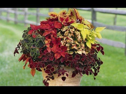 Однолетние цветы для клумб - КОЛЕУС