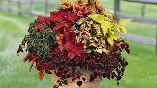 Однолетние цветы для клумб - КОЛЕУС(У нас вы можете купить рассаду цветов (множество однолетников и многолетников, почвопокровные и декоративн..., 2015-01-30T00:51:45.000Z)