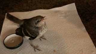 A Demanding Young Girl MockingBird.mov
