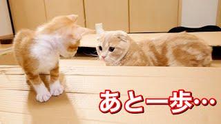 短足猫と新入り猫が仲良くなるまであと一歩…?