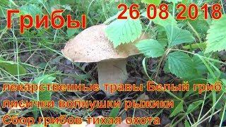 Грибы и лекарственные травы 26 08 2018 Белый гриб лисички волнушки рыжики Сбор грибов тихая охота
