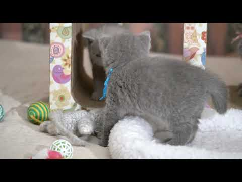 Британские котята в возрасте 5 недель (Litter- M2)