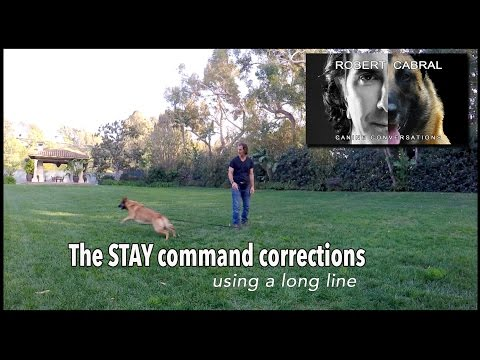 Teach Your Dog to Stay pt. 2 - Using a Tug & Long Line - Robert Cabral Dog Training Video #10