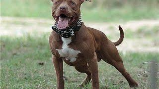 видео Характеристика собаки породы питбуль