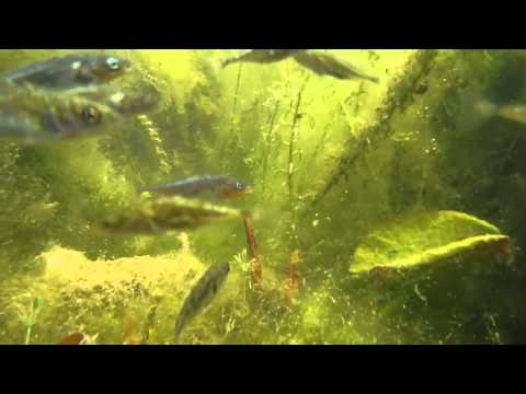Sticklebacks In My Pond