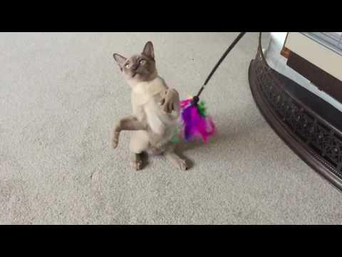 Burmese Cats Video