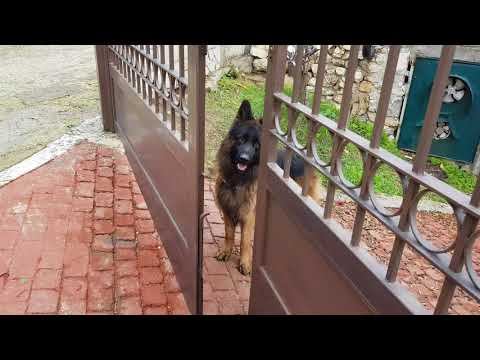 Lesson 9  - What a German Shepherd can do? How to make him understand everything