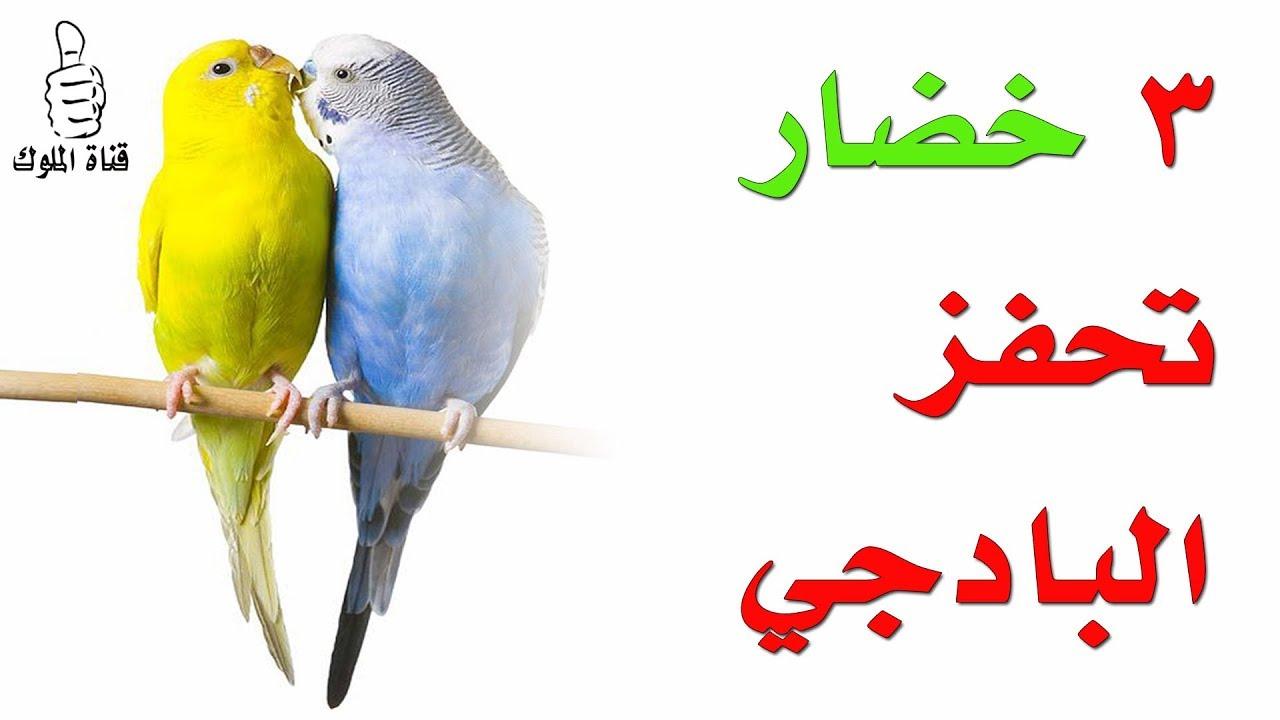 متى يبدأ موسم تزاوج الكناري Youtube Parrot Animals Bird
