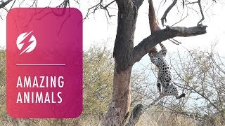 Acrobatic Leopard Falls Out Of Tree Trying To Cling To Prey