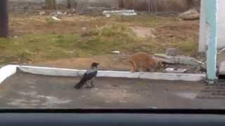 Кошка слабее вороны!Прикольное видео!Ворона умнее кошки!