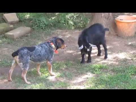 Billy Goat vs Dog