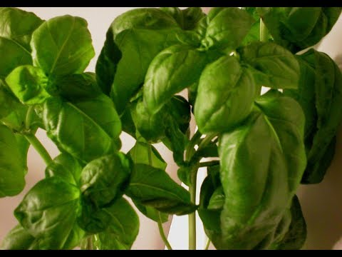 Basil 101-Nutrition and Health Benefits