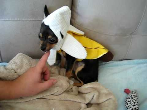 Chihuahua Halloween Costume & Chihuahua Halloween Costume - YouTube