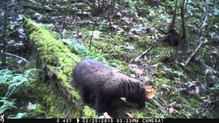 Pacific fisher in the Siskiyou Mountains (Video 3)